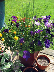 planter with purple yellow and red