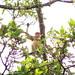 Brunei 20 - Probiscus monkey