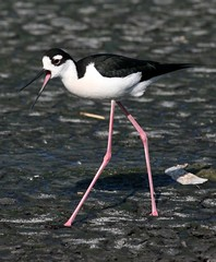 It's called attitude! (AllHarts) Tags: nature blackneckedstilt bbw attitude clck goldsealofquality tennesseewildlife alittlebeauty pogchallengewinnershalloffame flickrsmosthumongousgroup qualitysurroundings naturesbeautifulphotography naturespotofgold{competitivegroup} thewonderfulworldofnature pickyourart