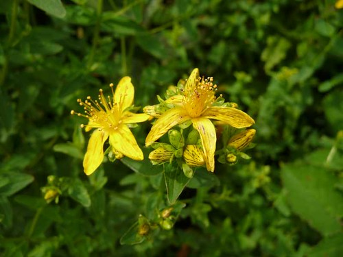 small-st.johns-wort-post-coed-hedgerow-27.6.09-