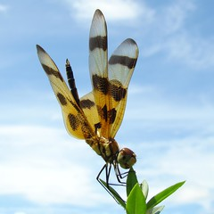 Halloween Pennant (Celithemis eponina) (Burnt Umber) Tags: urban bug insect florida dragonfly miami explorer ue urbex halloweenpennant dragonflie celithemiseponina allrightsreserved flurbex brownspottedyellowwingdragonfly rpilla001
