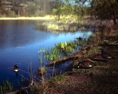 .. (Js) Tags: geese spring highpark fuji surface velvia shore handheld 4x5 largeformat grenadierpond rvp50 epsonv700