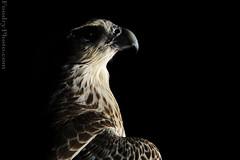 Darkness Hunter (A.alFoudry) Tags: lighting light wild black eye canon eos is flyer mark bare flash fast sharp full arab frame falcon 5d hunter kuwait usm arabian fullframe ef 580ex  highspeed kuwaiti transmitter q8 70200mm abdullah birs  mark2 speedlite  speedlite580ex  || f28l kuw ste2 q80 q8city canonef70200mmf28lisusm strobistcom strobist xnuzha alfoudry   abdullahalfoudry foudryphotocom superfalcon stodio mark|| 5d|| canoneos5d|| mk|| canoneos5dmark||