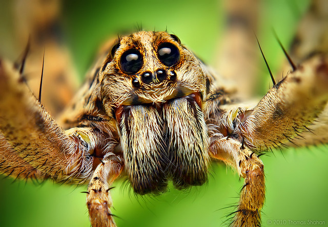 Portrait of a Wolf Spider in the Hogna Genus