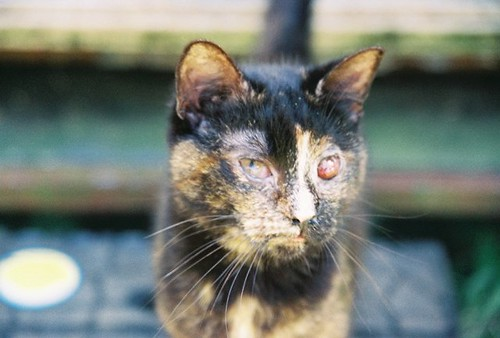 Feral Cat With Bad Eye