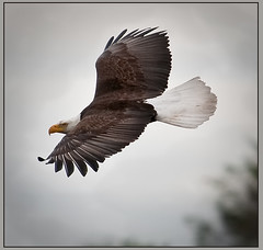 Bald Eagle (TT_MAC) Tags: bird nature eagle wildlife baldeagle haliaeetusleucocephalus victoriabc birdofprey smugglerscove platinumheartaward goldwildlife hg~sb ringexcellence celebratingnaturegroup dblringexcellence tplringexcellence