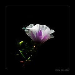 If I were to fall in love [explored] (e.nhan) Tags: flowers light black flower art nature closeup landscape colorful colours dof bokeh arts backlighting enhan galleryoffantasticshots