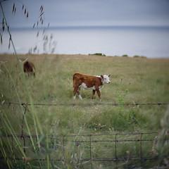 (m. wriston) Tags: ocean california color nature digital pen square lens landscape cow monterey highlands big dof pacific bokeh f14 olympus cctv carmel sur swirl garrapata 25mm epl1