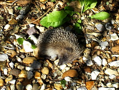 Un eri... dormint? / A (sleeping?) hedgehog (SBA73) Tags: uk greatbritain inglaterra england animal unitedkingdom salisbury hedgehog wiltshire erizo reinounido espinete anglaterra regneunit erinaceinae erio granbretanya