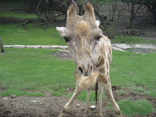 giraffe face el zoo