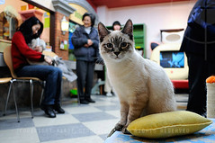 Cat cafes in Tokyo; photos I shot for the BBC last week, Tokyo, Japan. (Alfie | Japanorama) Tags: dog cats dogs japan cat work photography japanese tokyo cafe feline published photographer assignment photojournalism rental professional bbc neko