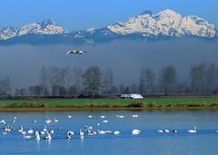 Trumpeter swans (Tony Cyphert) Tags: swan flood snohomish trumpeterswan d80 70300mmvr pfogold pfosilver beautifulworldchallenges pregamewinner