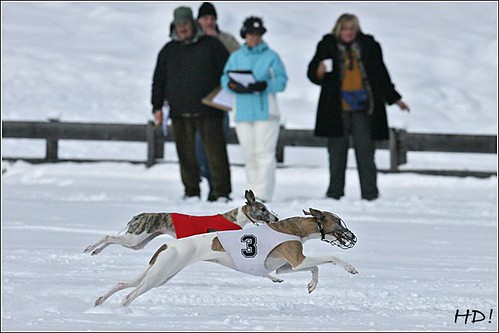 Winter-Schnee-Windhund-Coursin: Whippets