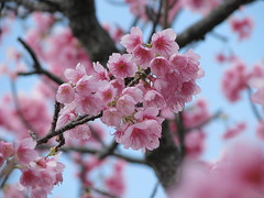 Pink (Cream & 2 sugars) Tags: pink flower japan cherry blossom okinawa nago