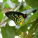 Male Cairns Birdwing butterfly, Melbourne Zoo © thewamphyri