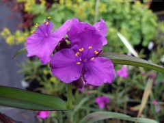 TRADESCANTIA 'Concord Grape'