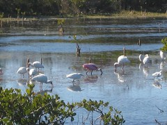 Roseate Spoonbill White Ibis and Snowy egret