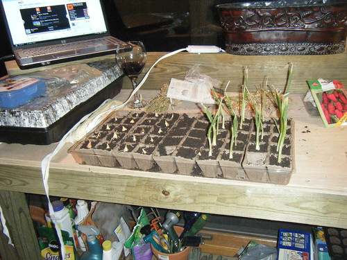 Onions planted indoors.