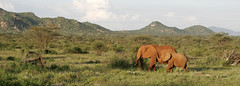 Parque Samburu (gordifeliz) Tags: verde 20d canon rojo paisaje kenia elefante colmillo gordifeliz panoramicaelefantekeniapaisajeverderojocolmillo20dcanongordifeliz