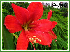 Hippeastrum 'Calimero' in our neighborhood