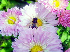 Spring Is So Close I Can Smell It (rapt_in_roses) Tags: flowers flower macro bug bugs dahlias hoverfly bugonflower essentialbeauty pinkdahlias