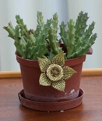 Starfish Cactus (russellstreet) Tags: orbeavariegata starfishcactus toadcactus