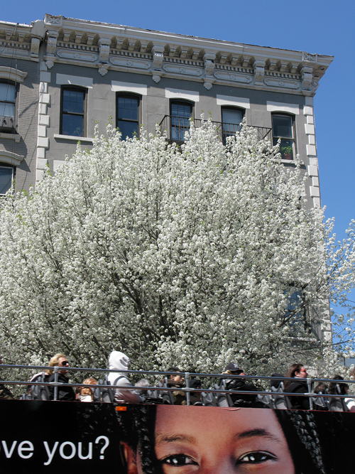 a bus of tourists and spring blossoms in New York City, Manhattan, NYC