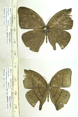 Erichthodes antonina