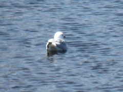 Ring-billed Gull (Larus delawarensis) (Jackson Park Terrace, Illinois, United States) Photo