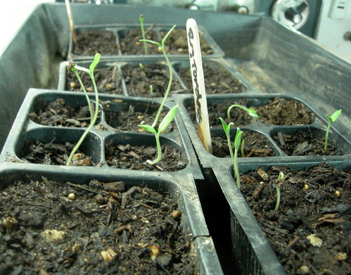 My seedlings are coming up