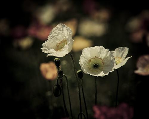 14066 : raison d'être -Poppy2009 #6-