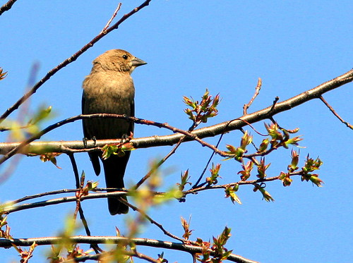 Female Brown-headed Cowbird 20090424