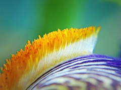 Iris (tanakawho) Tags: iris plant flower macro green nature yellow dof purple bokeh center stamen seaanemone tanakawho brillianteyejewel