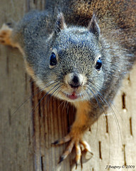 Howdy! (J Bespoy) Tags: canada closeup squirrel bc britishcolumbia richmond douglas naturesfinest specanimal animalkingdomelite mywinners diamondclassphotographer goldstaraward bestofsquirrels vosplusbellesphotos