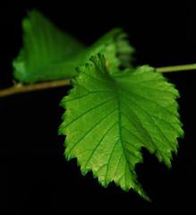 Life Revival (<<Maverick>>) Tags: green nature leaves leaf nikon micro ایران سبز d80 nikond80 برگ پدرام