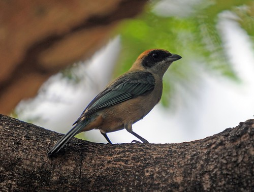 Burnished buff tanager - cayana ssp.