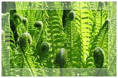 ....Ferns so green that it almost is impossible.... (jensen.pernille) Tags: green denmark fdsflickrtoys ferns danmark bregner grnt kulhuse uffesvej hornsherred pernillejensen jensenpernille