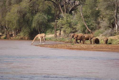 African Elephants & Giraffe at Ewaso Ng'iro River, Samburu National Park, Kenya.  02.08.2008