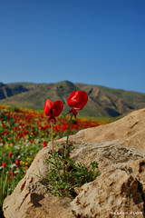 Spring Fantasy (kezwan) Tags: red wild sky flower nature spring kurdistan mauntain kezwan 1on1flower anawesomeshot