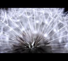 "Blowball (Sam ♑) Tags: nature beautiful canon germany deutschland europa europe dandelion löwenzahn pusteblume blowball flickrsbest anawesomeshot platinumheartaward fleursetnature spiritofphotography artistictreasurechest sam8883 ""zensationalworld"" ringexcellence dblringexcellence tplringexcellence eltringexcellence"