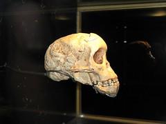 Selam (Lucy's Baby) (Travis S.) Tags: africa mexico skull mexicocity df child teeth ancestor bones museo huesos cranium artifact nio nationalmuseum anthropology selam calavera distritofederal musem dientes hominid museonacionaldeantropologia humanremains antropologia frica crneo artefacto australopithecus australopithecine afarensis nationalmuseumofanthropology museonacional australopithecusafarensis antepasado lacuidaddemexico restoshumanos homnido bebdelucy lucysbaby