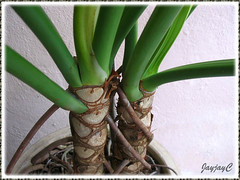 Philodendron bipinnatifidum (Tree Philodendron, Selloum): its tree-like trunk, aerial roots and petioles, shot May 2009