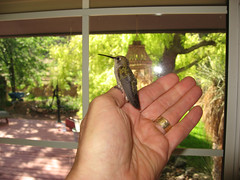 Hummingbird Rescue! (twm1340) Tags: rescue home kitchen hummingbird wildlife guest visitor