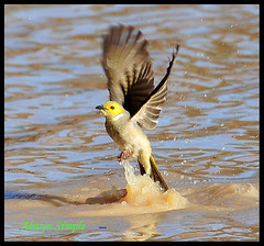 0612_6686 Bathtime - White Plumed Honeyeater (alwynsimple) Tags: birds australianbirds alwyn bowra bowrastation thewonderfulworldofbirds