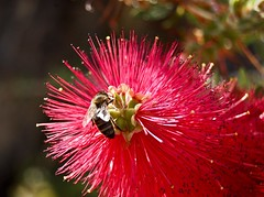 Macro faune et flore (MontanaGreen) Tags: france flower macro green nature fleur d50 insect nikon montana picture mg bee miel nectar pollen et abeille butiner flore 18mm faune butine montanagreen miellat
