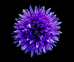 Rhapsody In Blue (The Ross Project) Tags: blue friends flower treasure awesome blossoms group hidden rhapsody naturesfinest supershot mywinner impressedbeauty vosplusbellesphotos
