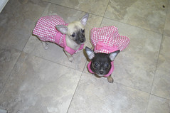 Bella and Chica (cerberus_arstd) Tags: dog chihuahua cute dogs puppy puppies chihuahuas zuzu cujo