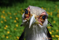 090522 osyP 090614  ( explore ) (thethi: pls read my first comment, tks) Tags: nature animal oiseau messagersagittaire sagittaire serpentaire sagittariidae secrétaire oeil drôle parc paradisio wallonie belgique belgium rapace bestof2009 explore cambroncasteau brugelette hainaut setwhatisthat setwings setjuin supersix6 fact90 halloffame smileonsaturday eyecatcher guesswhatitis faves151 150faves faves158