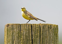 Yellow Wagtail (Motacilla flava) Female, on a Fence Post at RSPB Saltholme (Steve Greaves) Tags: bird nature female branch wildlife aves naturalhistory naturereserve twig avian rspb yellowwagtail motacillaflava northeastengland motacillaflavissima motacillaflavaflavissima sealsands 2xteleconvertor saltholme nikond300 globalbirdtrekkers nikonafsii400mmf28ifedlens yellowishcrownedwagtail