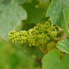 Champagne grape, just after the bloom (Vainsang) Tags: nikon champagne vineyards grapes reims vignoble grape vigne raisin grappe d40x